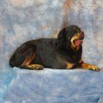 black-brown-dog