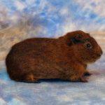 brown guinea