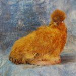 taxidermy chicken