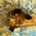 coon stuffed cat