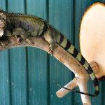 lizzard pet taxidermy