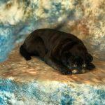 taxidermy dog